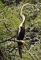 Oriental Darter Anhinga melanogaster by Dr. Raju Kasambe DSCN6918 (14).jpg