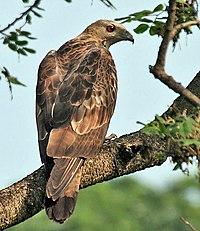 Oriental Honey-buzzard (Pernis ptilorhynchus)- Male at Kolkata I IMG 7451