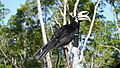 Oriental Pied Hornbill.jpg