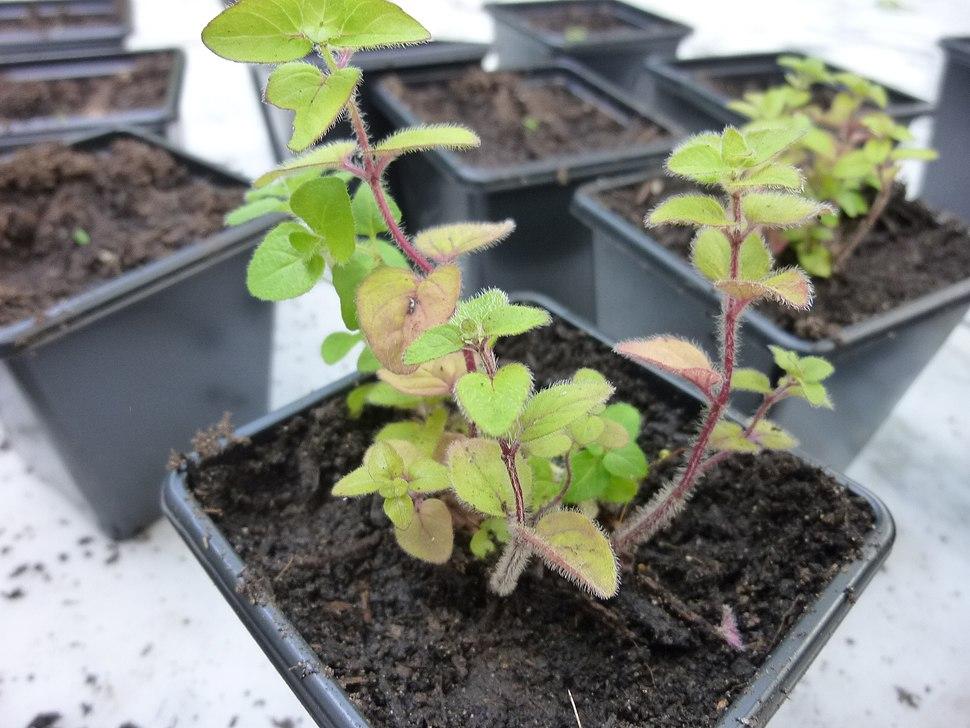 Origanum vulgare young plant 2