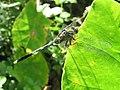 Orthetrum sabina - Green Marsh Hawk at Kottiyoor (2).jpg
