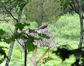 Weymouth Back River - Osprey in nest on artificial platform in Beal's Cove in Bare Cove Park, Hingham. Courtesy of Tim Powers 2012.