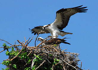 Osprey - Preparing to mate on the nest