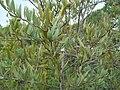 Osyris lanceolata 2.JPG