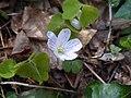Oxalis acetosella Rio Carpine 03.jpg