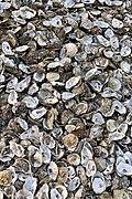 Oyster shells on Whitstable beach.jpg