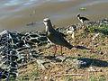 Pássaros em Porto Alegre 008.JPG
