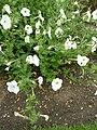 P1000489 Petunia axillaris (Solanaceae) Plant.JPG