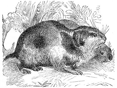 PSM V04 D359 Lemming or norway rat.jpg