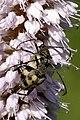 Pachytodes.cerambyciformis.couple.jpg