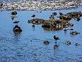 Pacific golden plover tidal strand Sandgate Brisbane Bramble Bay Queensland P1100395.jpg