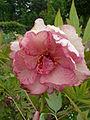 Paeonia lutea 'Hesperus' 01 flower by Line1.jpg