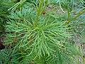 Paeonia tenuifolia 2016-05-20 0913.jpg