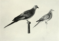 Page The Passenger Pigeon - Mershon djvu 188 - Comparative size of pigeon and dove.png