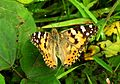 Painted Lady Vanessa cardui UP by Dr. Raju Kasambe best Sathpool DSCN3827 (11).jpg