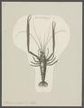 Palaemon ornatus - - Print - Iconographia Zoologica - Special Collections University of Amsterdam - UBAINV0274 097 09 0009.tif