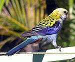Pale-headed Rosella (Platycercus adscitus)2-4c.jpg