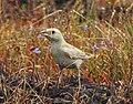 Pale rockfinch (ഇളം പാറക്കുരുവി ) - 3.jpg