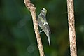 Palm Tanager (Thraupis palmarum) (4089489665).jpg