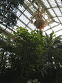 Palm house (Schönbrunn) 'Sisi's Palm tree', a 170 years old Livistona chinensis 20080210.jpg