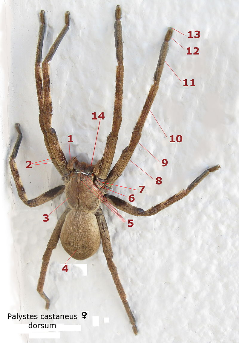 Palystes castaneus female dorsum numbered.jpg