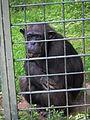 Pan troglodytes im Zoo Landau.JPG