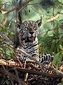 Pantanal jaguar female JF.jpg
