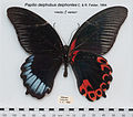PapilioDeiphobusDeiphontesUpUnAC1.jpg