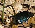 Papilio troilus Linne.jpg