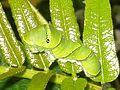 Papilio xuthus caterpillar 071003.jpg
