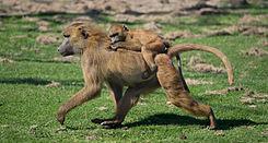 Twee bruine bavianen in een wildpark in de buurt van de Britse plaats Hythe.