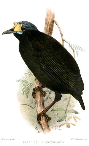 Short-tailed paradigalla - Illustration of a male