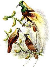 Paradisaea guilielmi by Bowdler Sharpe.jpg
