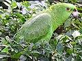 Parakeet at Beach Club - Laguna de Apoyo - Near Granada - Nicaragua (31823781582) (2).jpg