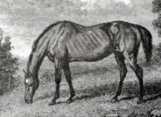 Prunella (horse) - Prunella's daughter Parasol