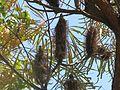 Parc Gonzalez - Banksia littoralis (fruits).jpg