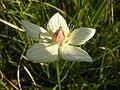 Parnassia palustris4115.JPG