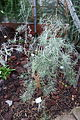 Parolinia ornata - Botanischer Garten, Dresden, Germany - DSC08798.JPG