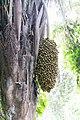 Parque Natural Metropolitano, Panamá-9614 - Flickr - Ragnhild & Neil Crawford.jpg