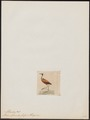 Parra albinucha - 1820-1863 - Print - Iconographia Zoologica - Special Collections University of Amsterdam - UBA01 IZ17500281.tif
