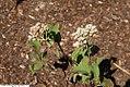 Parthenium integrifolium 8zz.jpg