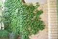 Parthenocissus tricuspidata Ginza Lights 1zz.jpg