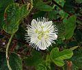 Passiflora foetida (17352171224).jpg