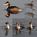 Passionated waterbirds (Futen) in the Spring at Waterland - panoramio.jpg