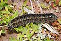 Pasture day moth caterpillar02 NR.jpg