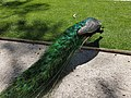 Pavão no Parque Marechal Carmona em Cascais (37140385041).jpg