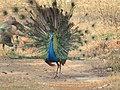 Peacock16.jpg