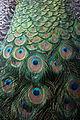 Peacock - Museum fur Naturkunde, Berlin - DSC00139.JPG