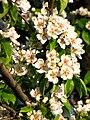 Pear blossom (Pyrus) 11.JPG