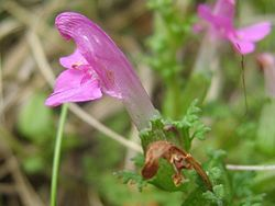 Pedicularis sylvatica.jpeg